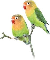 lovebird hijau