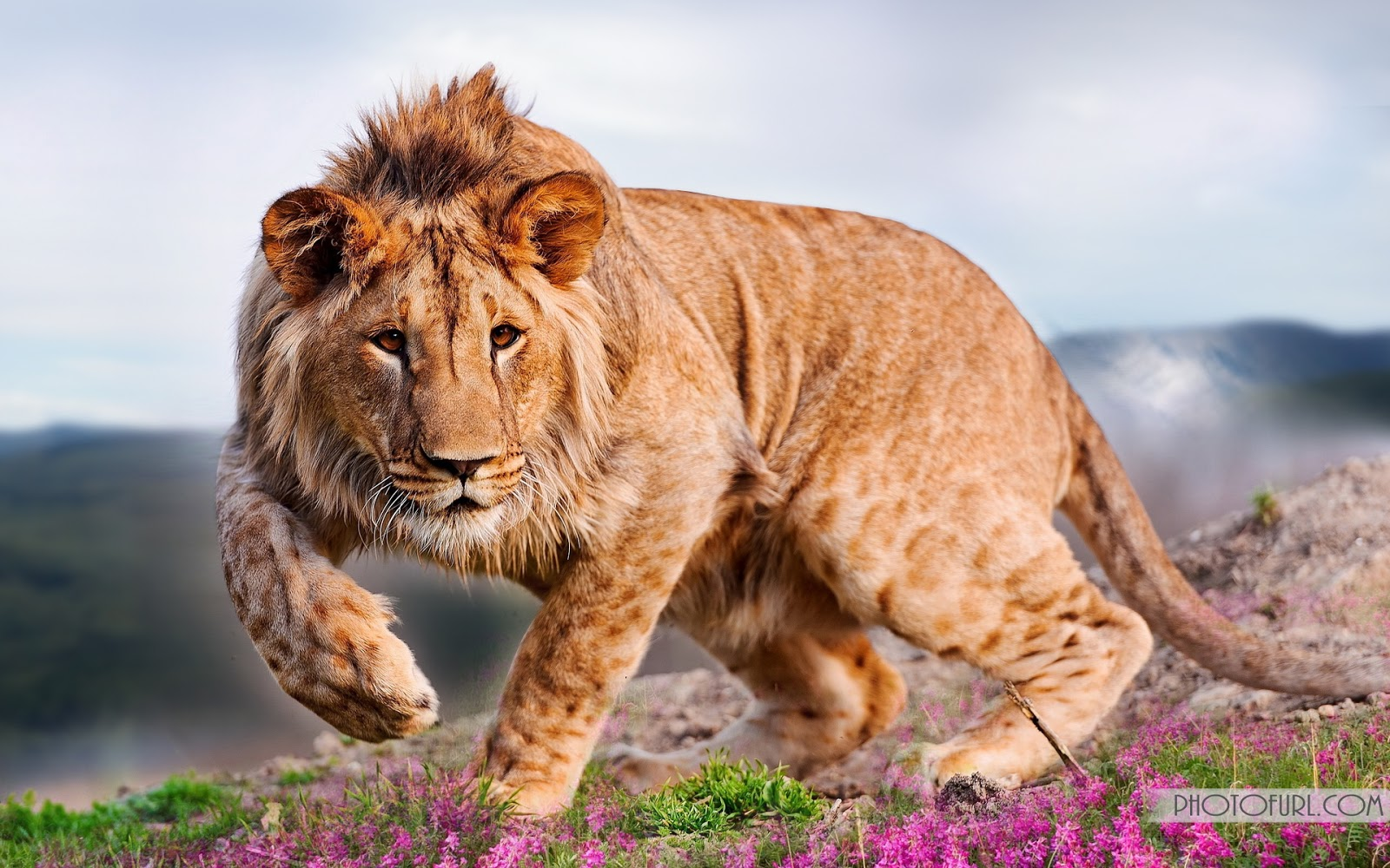 Lion Pictures Hd Wallpapers Lion Animal Photo