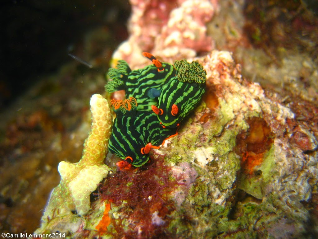 Nudibranch, Talisay, Panagsama beach, Moalboal, Philippines