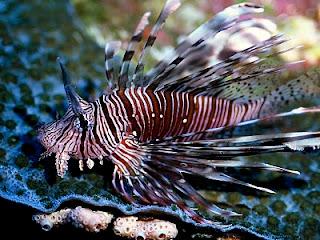 ikan paling cantik