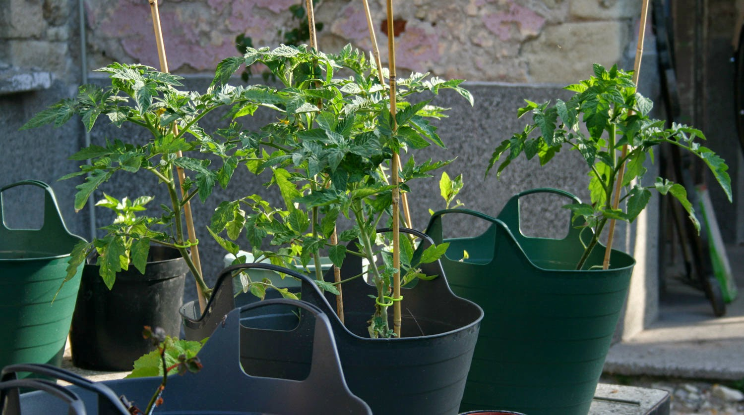Lovely happy tomato plants