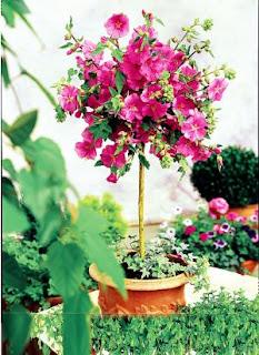 Le jardin de pascaline arbuste sur tige for Le jardin high wine