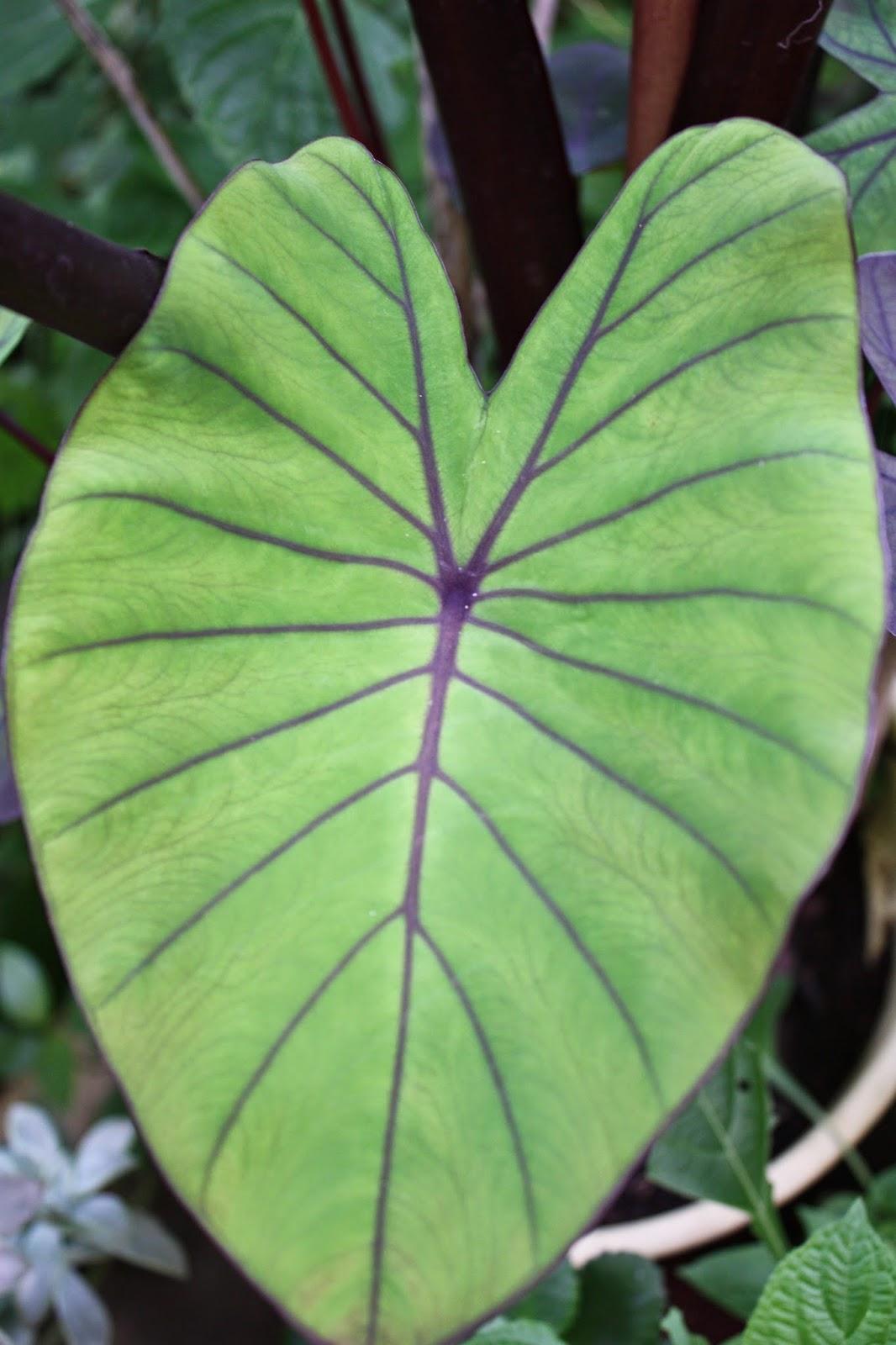 El vibrero ficha informativa de plantas comestibles for Planta ornamental oreja de elefante