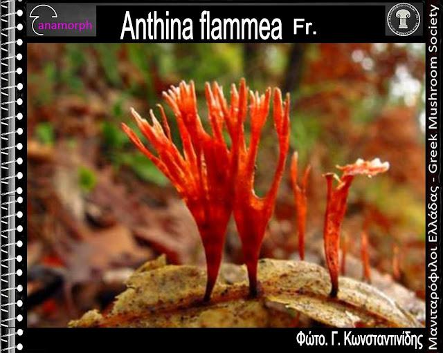 Anthina flammea Fr.