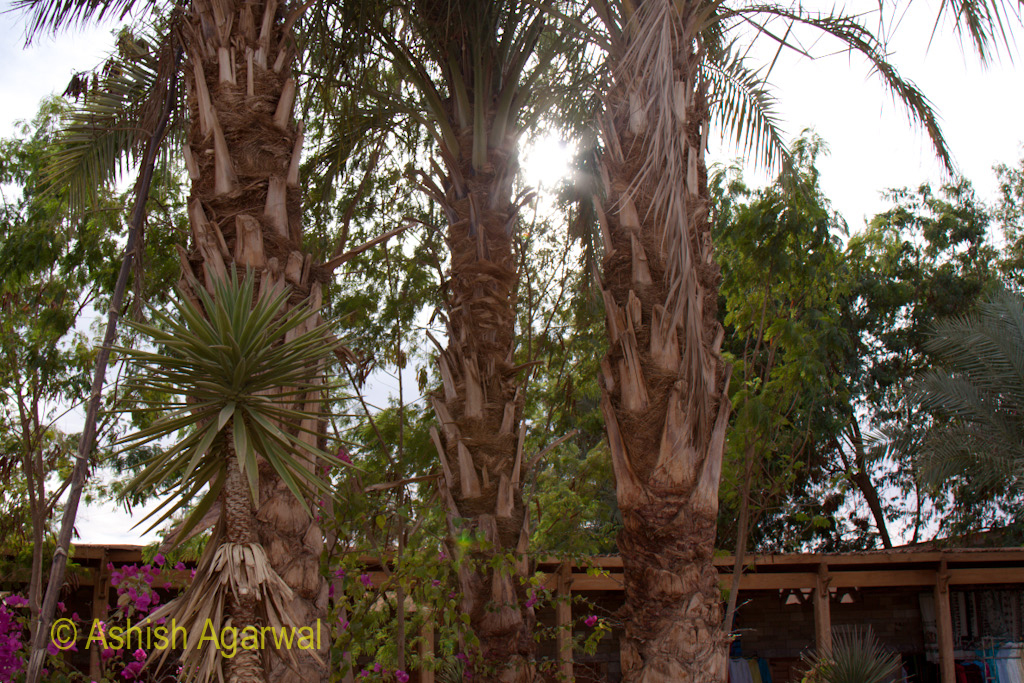 Palm trees near the entrance to the temple of Abu Simbel in south Egypt