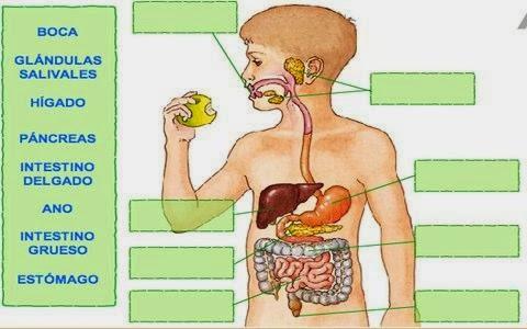 MIS COSAS DE MAESTRA*: La nutrición I: APARATO DIGESTIVO Y LA ...