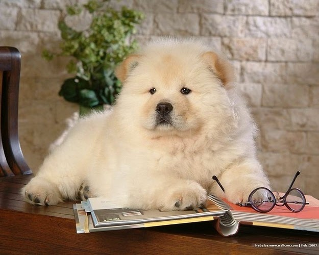 Cute Chow Chow Puppy Read a Book