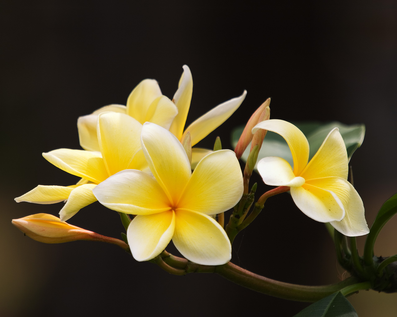 Flowers Wallpapers: Frangipani Flowers Wallpapers