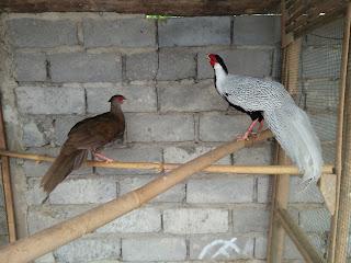 Jual ayam hias silver pheasant