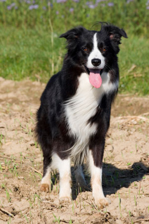 the border collie is a herding