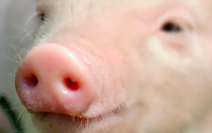 Tips Ampuh untuk Mengetahui Jenis Makanan yang Mengandung Daging Babi