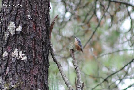 A trepadeira-azul (Sitta europea)