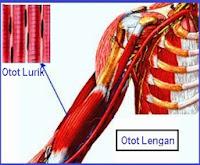 Pengertian, Fungsi dan Ciri-Ciri Otot Lurik