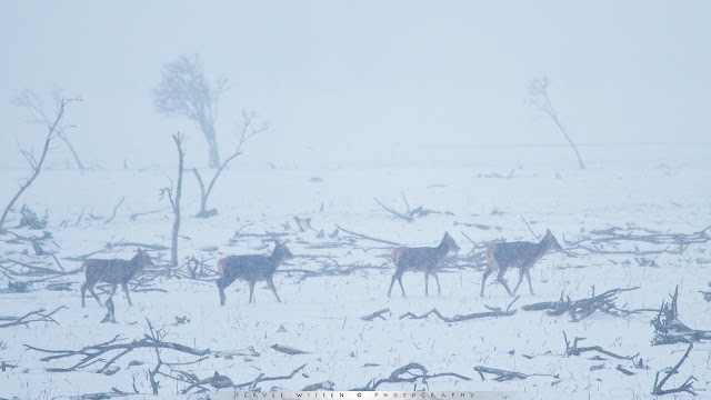 Edelherten in sneeuwstorm - Red Deer in Snow storm