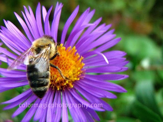 Purple aster with a little bee