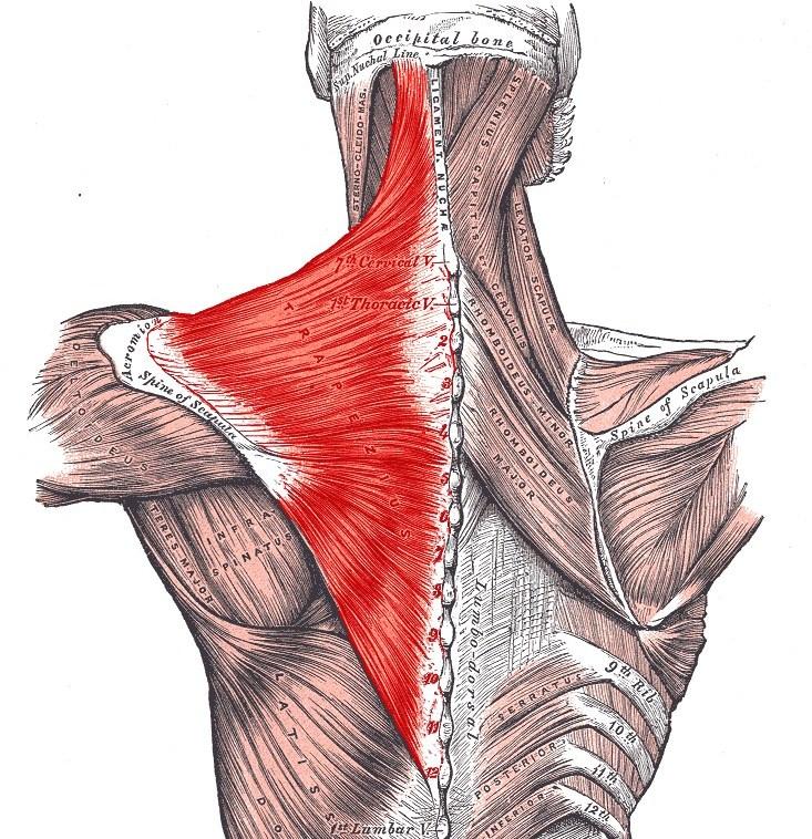 Pain Sensation Trapezius Muscle Pain