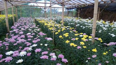 supplier bunga potong dicipanas