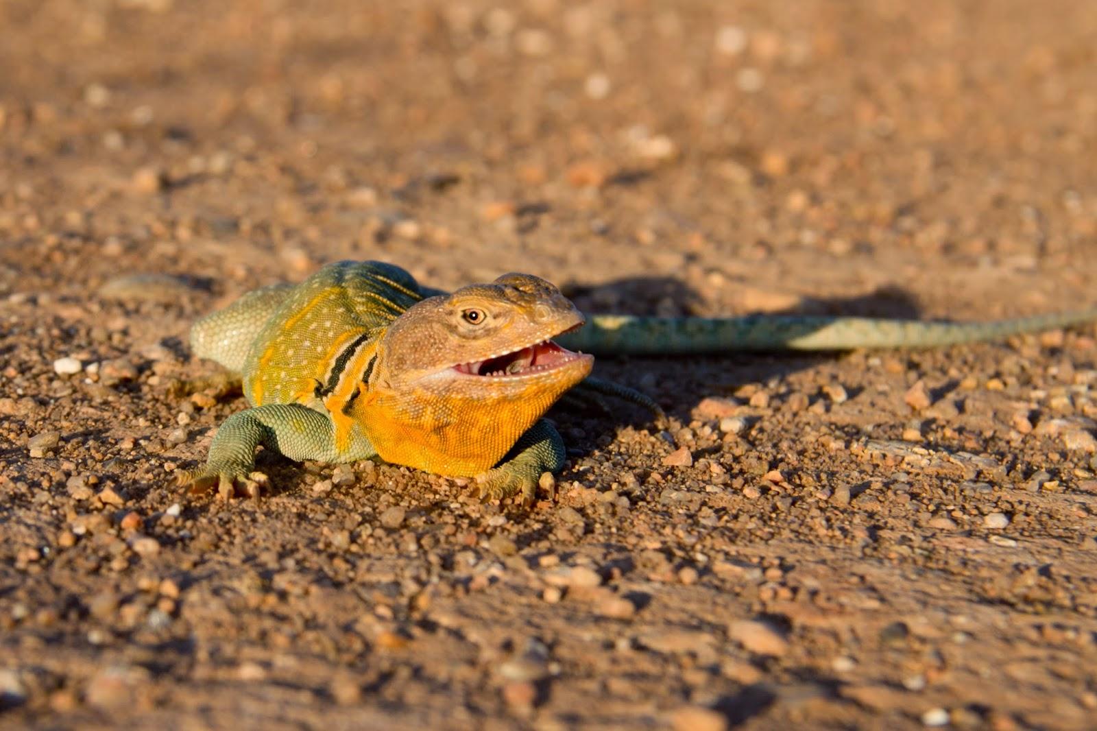 U S Lizard The Kansas Outb...