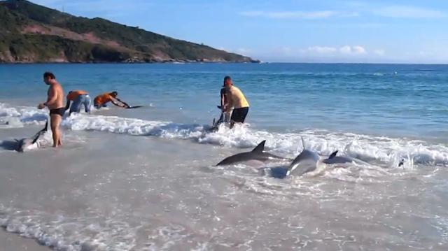 Banhistas salvam 30 golfinhos em Arraial do Cabo