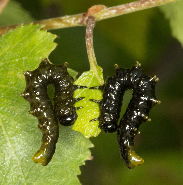 Sawfly larvae, Symphyta, on Silver Birch.  Downe Bank Nature Reserve, 16 June 2012.  Note: 6 pairs of prolegs.