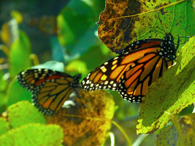 Monarch Butterflys, migrating, journey