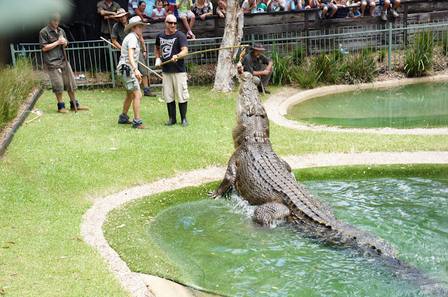 Zookeepers at the Australian reptile park feeding a large crocodile