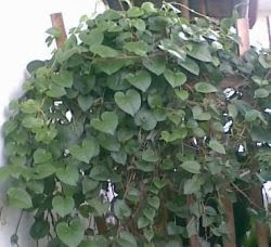 Cara menghilangkan jerawat dengan daun binahong