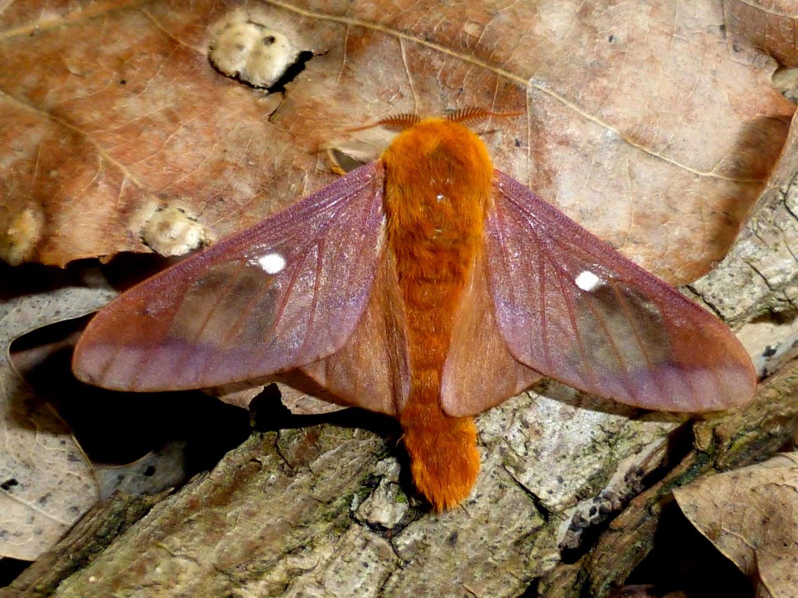 Anisota virginiensis male