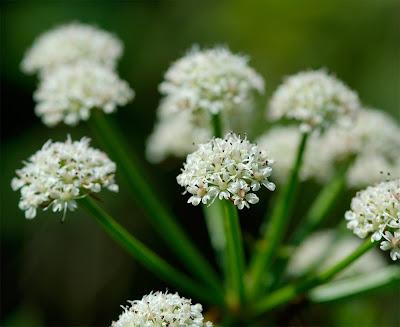 Hemlock Water Dropwort Oenanthe crocata