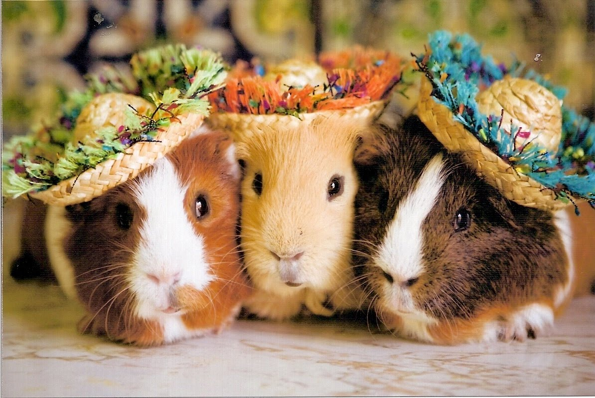 animal free wallpapers animal guinea pig free wallpapers