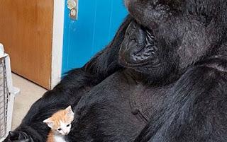 gorilla dan kucing