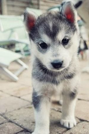 Cuteest Klee Kai Puppy