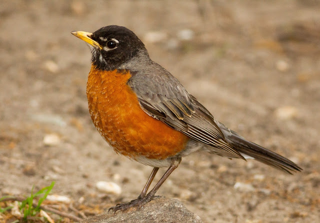 American Robin - New York