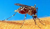 Kriebelmücke - Black Fly