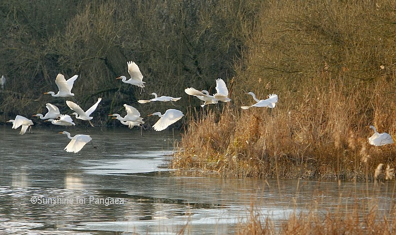 Common Egrets in southern Germany