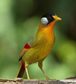 pancawarna,murai batu,Burung Cantik 5 Warna Untuk Masteran Murai Batu