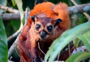 Foto Tupai Red Giant Flying Squirrel (Petaurista petaurista)