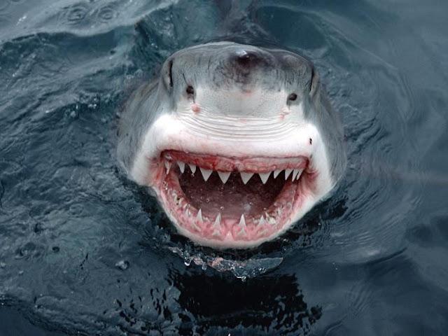 laughing shark