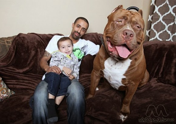 هولك اكبر كلب بالعالم 2015
