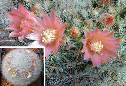 Mammillaria bocasana-Powder Puff Cactus