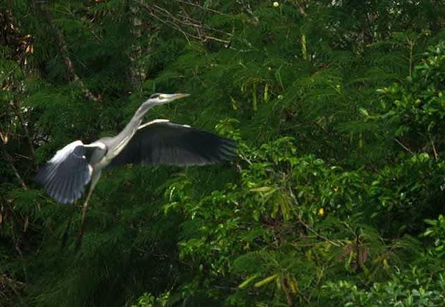 Grey Heron wings spread
