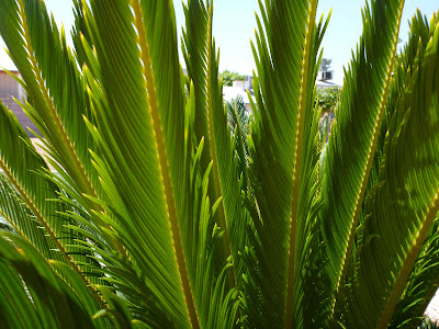 Binomen Art - Cycas revoluta - Plant