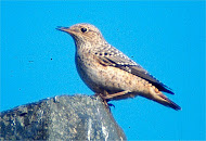 Rock Thrush