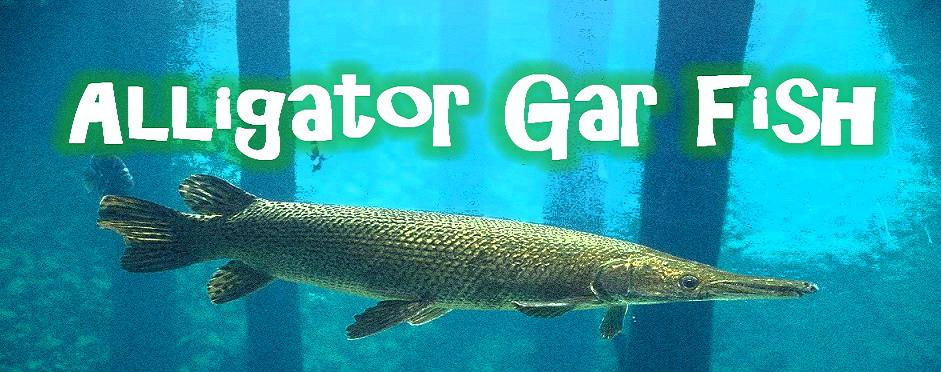 Alligator Gar Fish - Alligator Gar Information Site