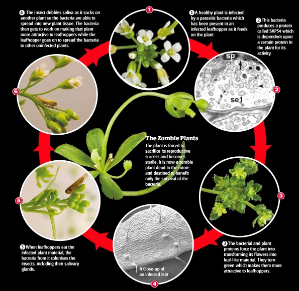 the steps of a plant to become a zombie