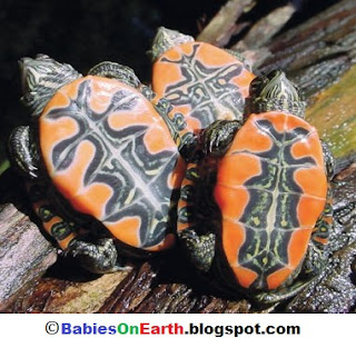 Baby Western Painted Turtle
