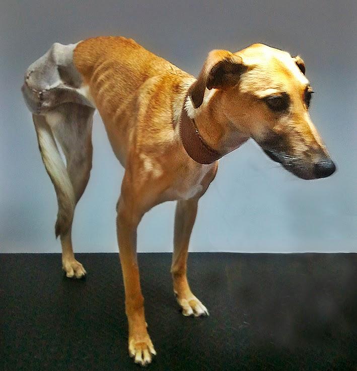amputación canina