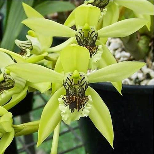 Anggrek Hitam atau Black Orchid