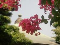 極楽寺のサルスベリ