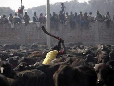 2013 07 17 205711 Penyembelihan Terbesar Paling Kejam Keatas Haiwan